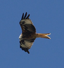 Red Kite in Berkshire 2008.jpg