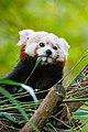 Red Panda (24676733218).jpg