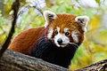 Red Panda (37661644815).jpg