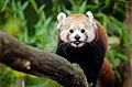 Red Panda 03.jpg