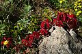 Red and green five-leaved ivy on granite.jpg