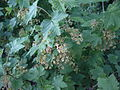 Red currant blooming.jpg