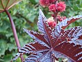 Red leaf of Ricinus communis - panoramio (1441).jpg
