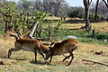 Red lechwe fighting 3.jpg