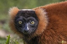 Red ruffed lemur (Varecia rubra) head.jpg