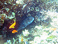 Red sea-reef 3368.jpg