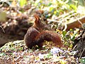 Red squirrel tail.jpg