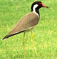 Red wattled lapwing(maina).jpg