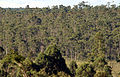 Reflorestamento eucalipto Espírito Santo (Fábio Pozzebom)24mar2007.jpg