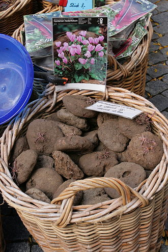 Cyclamen hederifolium - Dried tubers at market in Remscheid, Germany