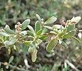 Rhagodia spinescens 1.jpg