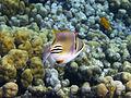 Rhinecanthus assasi - Rotmeer-Picassodrueckerfisch 0940.jpg