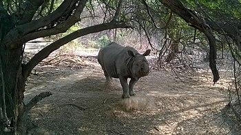 Rhinoceros 1.jpg
