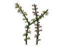 Rhipsalis grandiflora.png