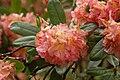 Rhododendron 'Always Admired' Flowers.JPG
