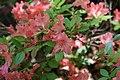 Rhododendron Aladdin 4zz.jpg