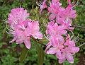 Rhododendron davidsonianum Ruth Lyons.jpg