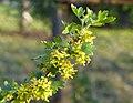 Ribes aureum - meruzalka zlatá - kvetoucí.jpg