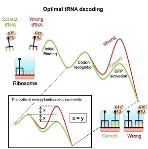 Conformational proofreading - Image: Ribosome uses conformational proofreading for t RNA decoding