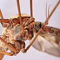Riesenschnake Tipula maxima 2854.jpg
