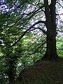 Riis Skov (bøg ved klint).jpg