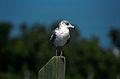 Ring-billed Gull(js)1.jpg