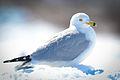 Ring-billed Gull (Larus delawarensis) (16622776346).jpg