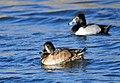 Ring-necked Ducks on Seedskadee National Wildlife Refuge (26214665215).jpg