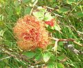 Robin's Pincushion Gall.JPG