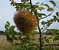Robin's pincushion - Rose bedeguar gall - geograph.org.uk - 1424160.jpg