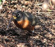 An earthworm being eaten by an American Robin.