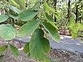 Robinia pseudoacacia - Bagrem (2), Niš, Srbija.jpg