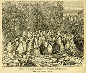 Northern rockhopper penguin - Northern rockhopper penguins on Inaccessible Island, drawn by the naturalist aboard HMS ''Challenger''