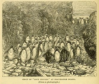 Inaccessible Island - Northern rockhopper penguins, from an engraving after a photograph, published in a book by the naturalist aboard HMS ''Challenger''