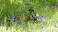 Romance amongst the bluebells! (8727527499).jpg