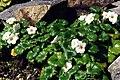 Romanzoffia californica 1.jpg