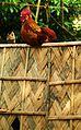Rooster 3.JPG
