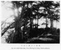 Root stilted black pine at Utani.png