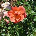 Rosa FEifut. 01.jpg