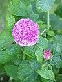 Rosa gallica2.jpg