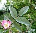 Rosa glauca inflorescence (42).jpg