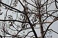 Rosales - Ficus carica - 2.jpg
