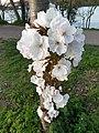 Rosales - Prunus padus - 14.jpg
