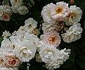 Rosarium Baden Rosa 'Ghislaine de Feligonde' 02.jpg