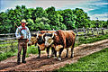 Ross Farm Team of Oxen and Driver.jpg