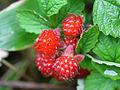 Rubus parvifolius, fruit 02.jpg