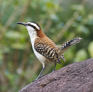 Rufous-naped wren species of bird