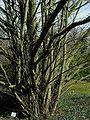 SDC11215 - Cercidiphyllum japonicum.JPG