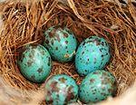 Sage thrasher eggs and nest on Seedskadee National Wildlife Refuge 02 (14511739876).jpg