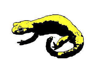 Alpine salamander - S. a. aurorae (Golden alpine salamander)